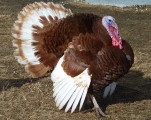 1280px-Bourbob_red_turkey_Tom-r2